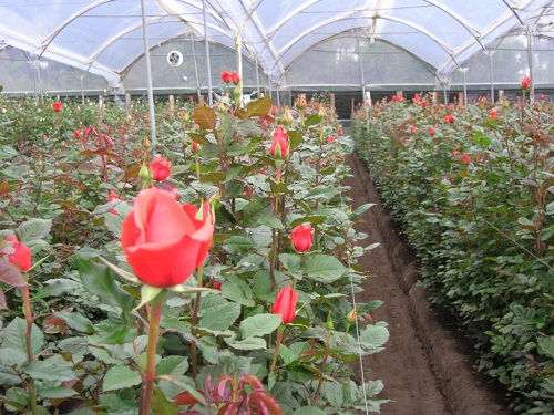 طرح توجیهی پرورش گل رز شاخه بریده در گلخانه 3000 متر مربعی 95