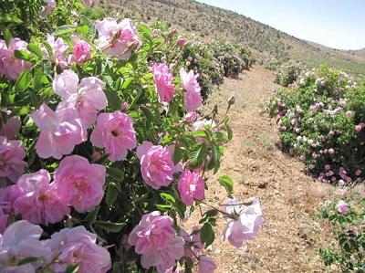 طرح توجیهی احداث باغ گل محمدی 10 هکتار دی ماه 93